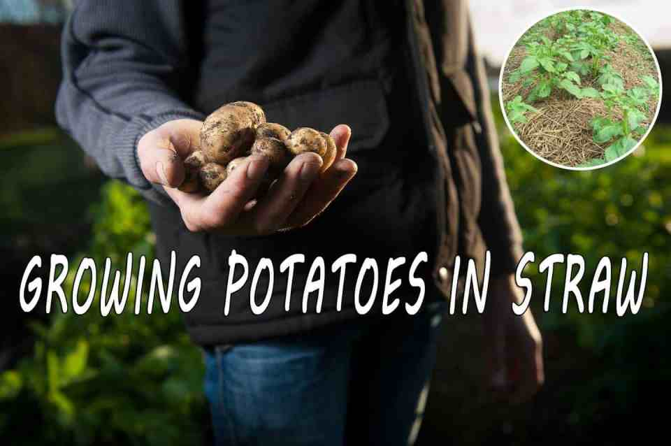 Growing potatoes in straw for easy gardening