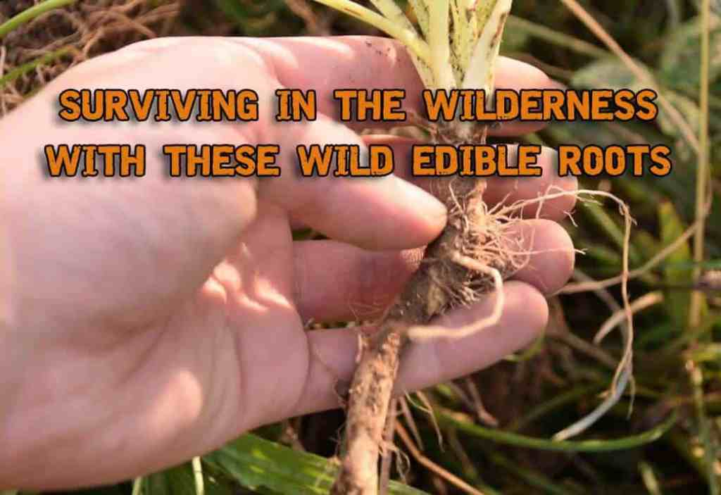Surviving In The Wilderness With These Wild Edible Roots – Part 2