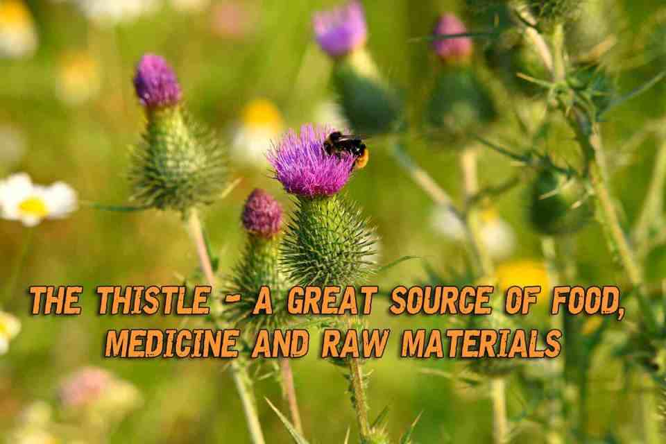 The Thistle - A Great Source Of Food, Medicine And Raw Materials