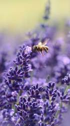 iphone spring wallpapers plus nature flower floral bees lavender flowers cherry tree hd preppy hello bee sunny