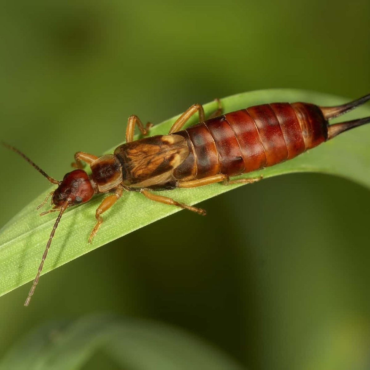 Earwigs A Pest Control Guide For The Pincher Bug