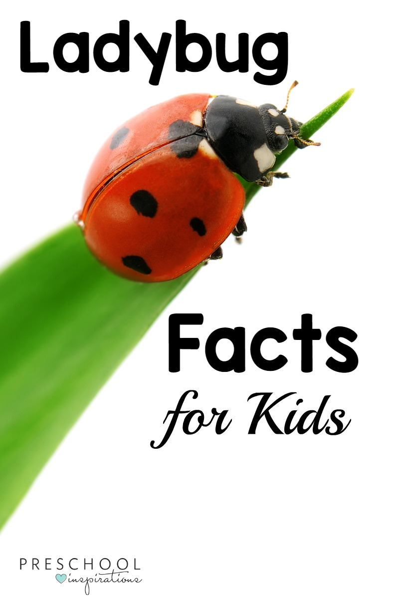hight resolution of here are 20 ladybug facts for kids while doing a ladybug theme learning about ladybugs