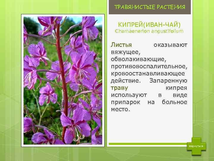 augalų, kurie padeda sergant hipertenzija)