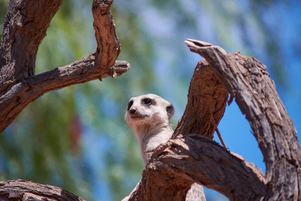 Suricata atento encima de árbol. Nuestra supervivencia normalmente no está en peligro pero con el storytelling podemos mantener la atención de la audiencia porque quieren saber qué ocurrirá.