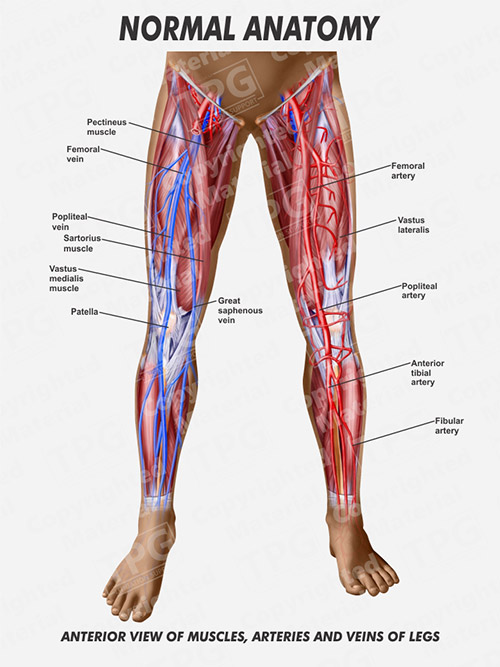 29 Veins And Arteries Of The Leg Diagram - Wiring Diagram List