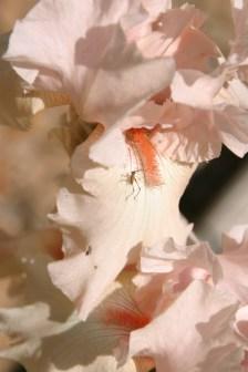 Pink Iris