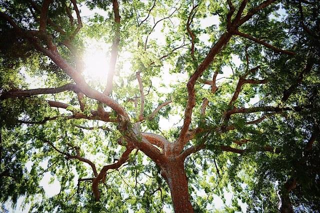 chinese-elm-tree
