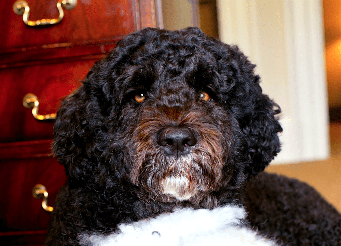 A closeup of Bo, June 20, 2012.