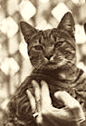 Calvin Coolidge's cat Tiger