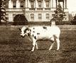 president-taft-cow