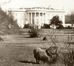sheep-at-white-house-1920