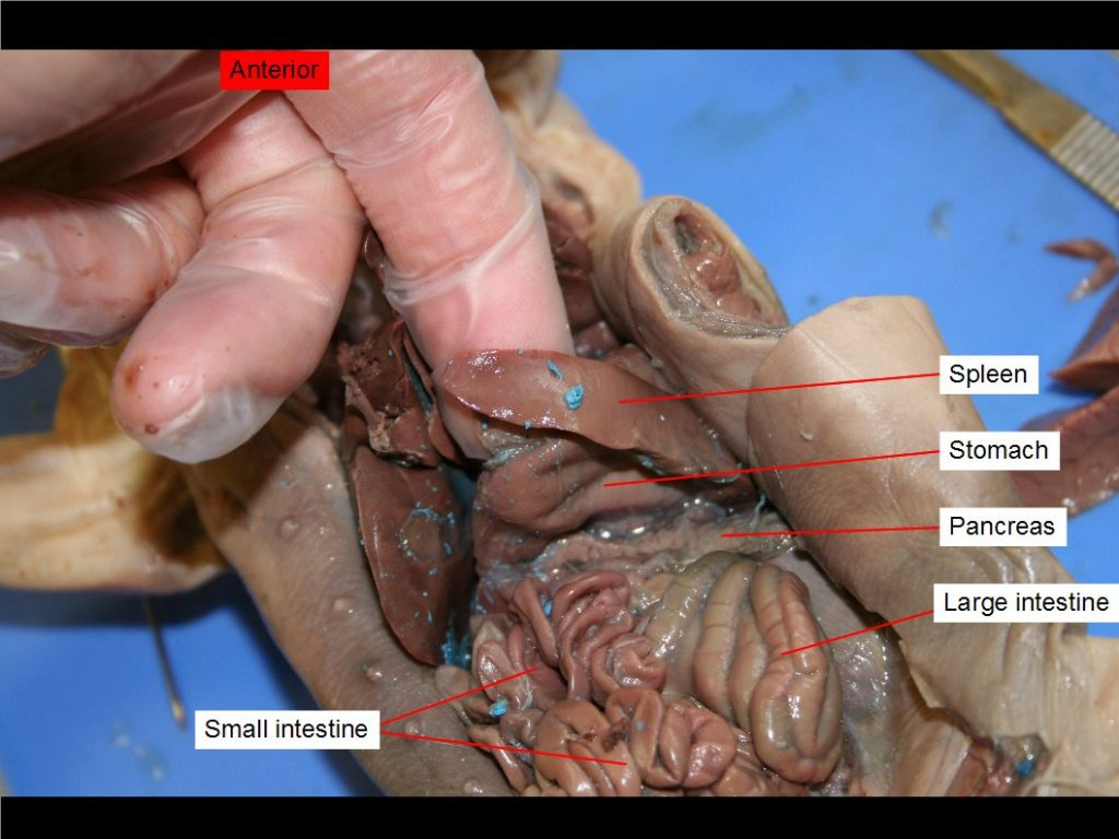Chapter 11 Fetal Pig Dissection Anatomy And Physiology