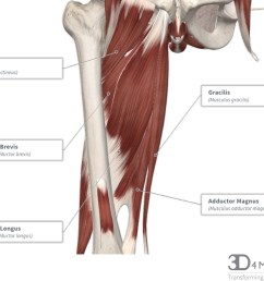 diagram representing the posterior view of the thigh showing the adductor magnus gracilis and adductor minimus muscles  [ 1250 x 989 Pixel ]