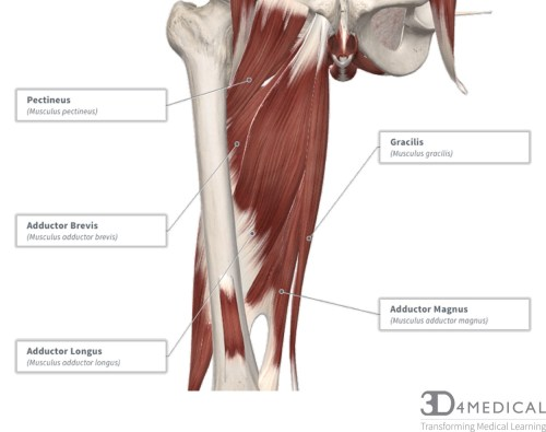 small resolution of diagram representing the posterior view of the thigh showing the adductor magnus gracilis and adductor minimus muscles