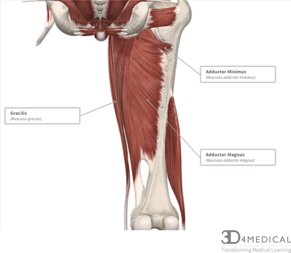 medium resolution of the action produced is flexion at the hip and innervated by the femoral nerve l2 l3
