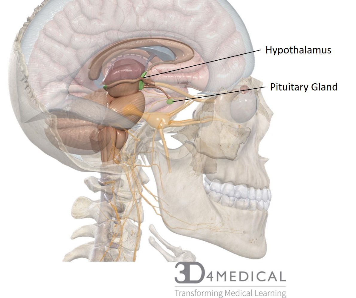 hight resolution of the hypothalamus is a structure that is found in the diencephalon region of the brain the hypothalamus is also included in the limbic system which also