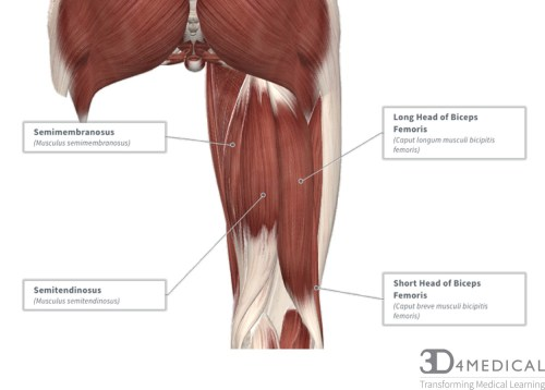small resolution of diagram representing the posterior view of the knee and the muscles associated