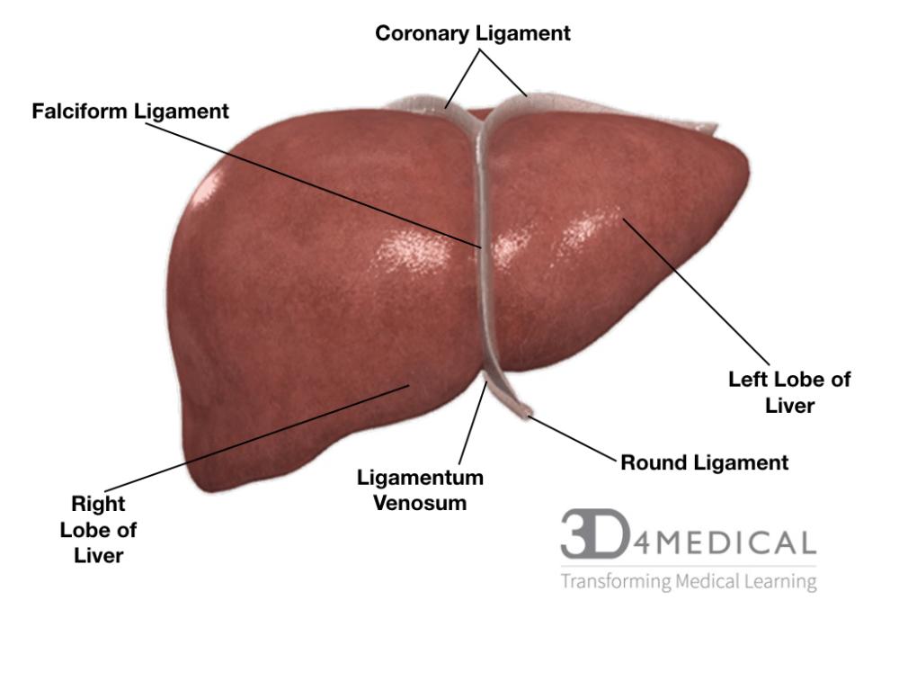medium resolution of liver inferior view liver posterior view liver anterior view