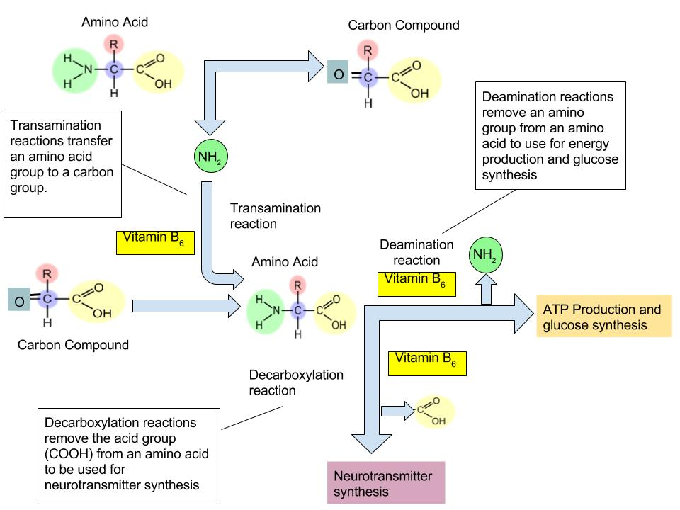 The function of Vitamin B6 in Amino Acid Metabolism