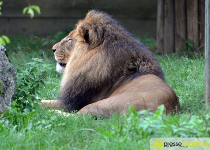20150905_zoo_029-löwe Bildergalerie | Ein Spaziergang durch den Zoo Augsburg - Vorführung eines Films über Namibia Bildergalerien Freizeit News Arno Wehrmann Namibia Vortrag Zoo Augsburg |Presse Augsburg