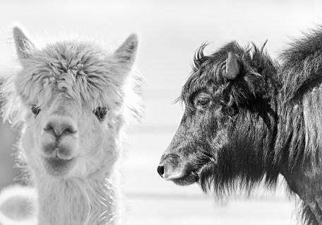 Gruene Erde - Alpaka und Yak