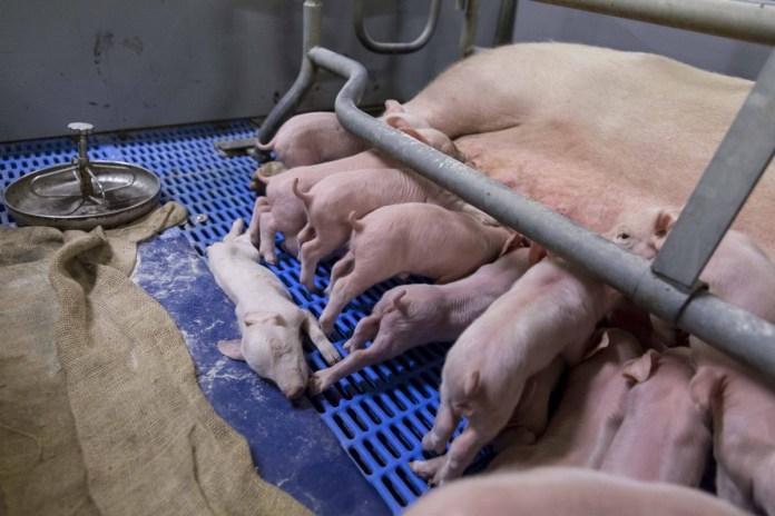 Schweinezucht-Landkreis-Harz-2-c-tierretter-de