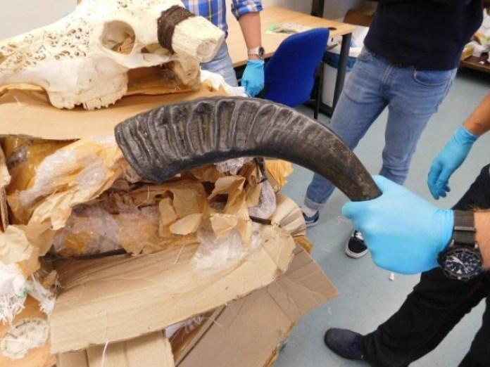 Wasserbüffelschädel in Paket; Bild: Zoll