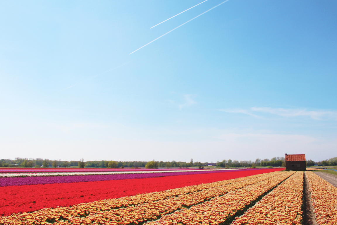 Visiting the Tulip Fields in Holland