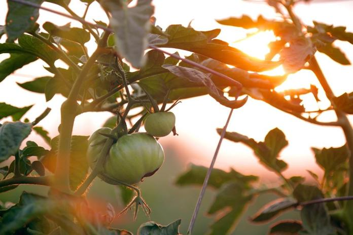 tomate selvagem