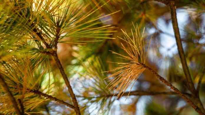 projeto pinewall combate doença do pinheiro