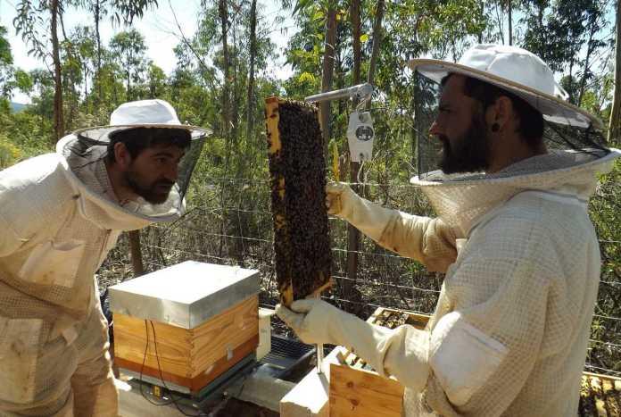 abelhas melíferas
