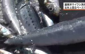 0903 03 1 - 北海道東 マイワシ漁が去年以上の水揚げ サンマは不漁だが・・