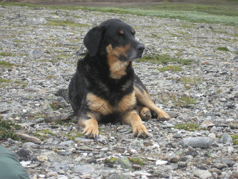 18 gammal hund