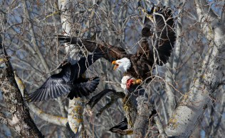 bald-eagle-and-crow