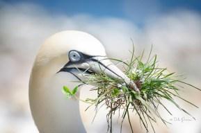 northern-gannet-nesting