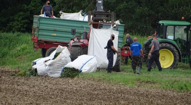 """FOTO: Policisti imeli žetev pri Lendavi, """"jumbo"""" vreče konoplje odvažali tudi s helikopterjem"""