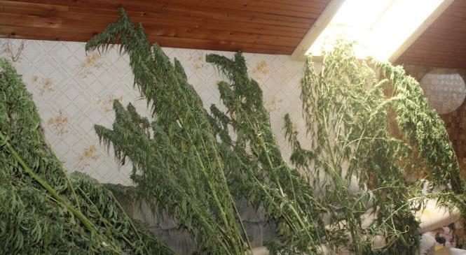Policisti med hišno preiskavo zasegli 21 rastlin prepovedane konoplje