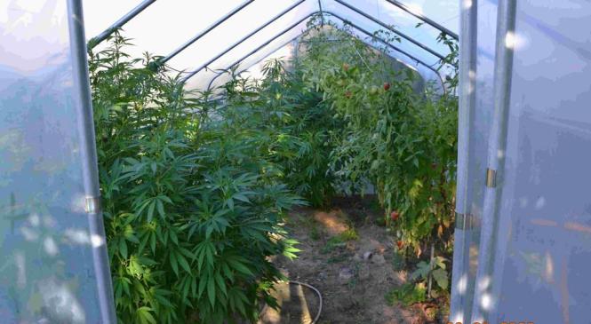 Žalski policisti med hišno preiskavo zasegli sadike prepovedane konoplje