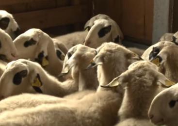 Poškodoval ograjo in električnega pastirja, ter izpustil ovce na sosednji travnik