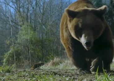 Na območju Petrovč in Radeč občani opazili medveda