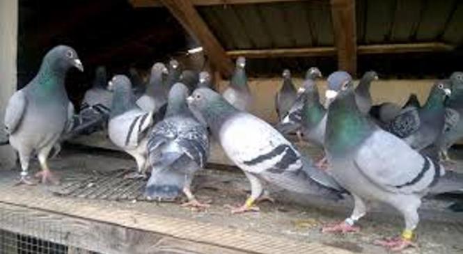 Nepridipravi ukradli golobe