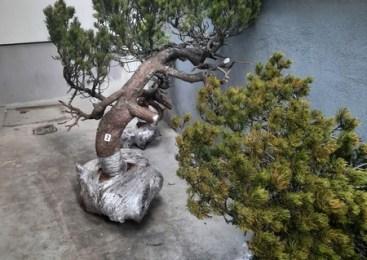 Nepridiprava na območju Lovrenških jezer kradla zaščitene pritlikave bore