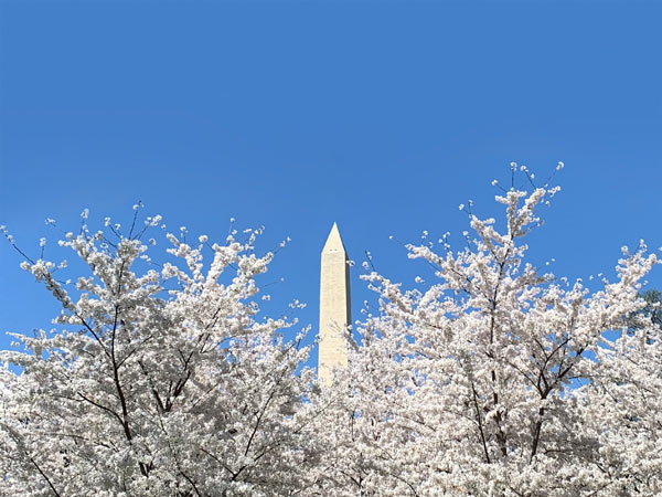 DC's Washington Monument above cherry blossoms
