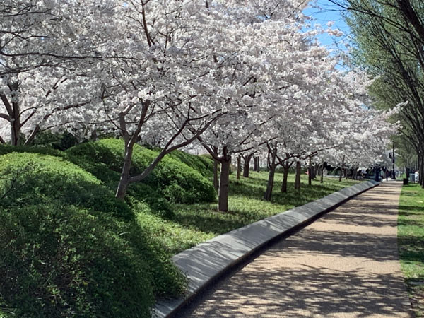 DC path with cherry blossoms