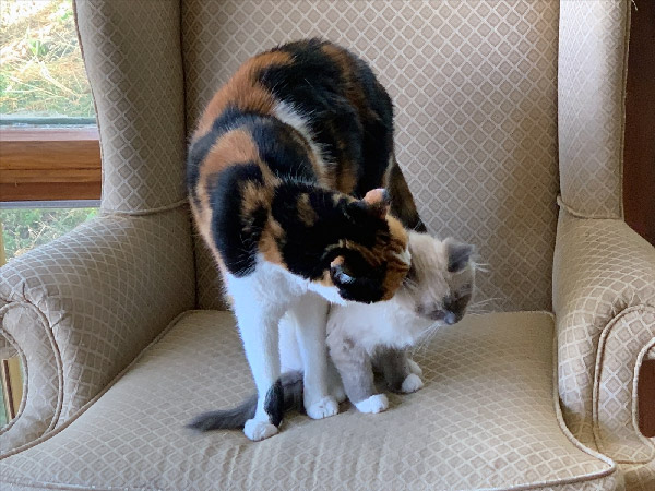Tash the calico cat grooms Nelly the siamese kitten