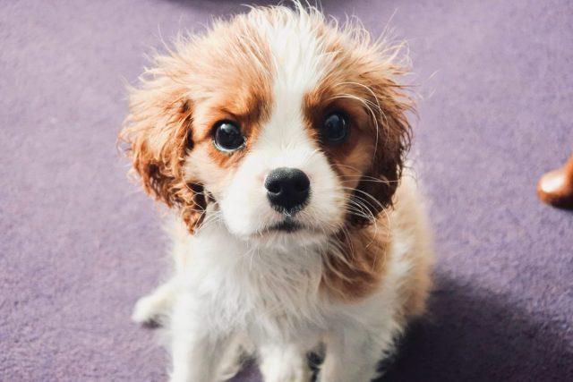 Suit hond