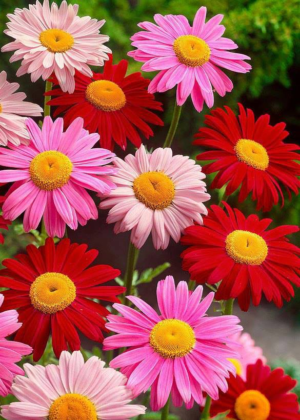 Painted Daisies Flowers