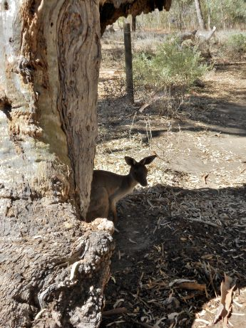 A roo is hiding in the shade