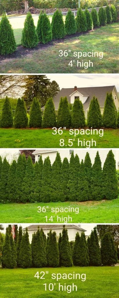 Emerald Green Arborvitae Spacing Examples