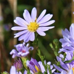Aster 'Sky Blue' is a great option for the middle of the border in your shade garden.